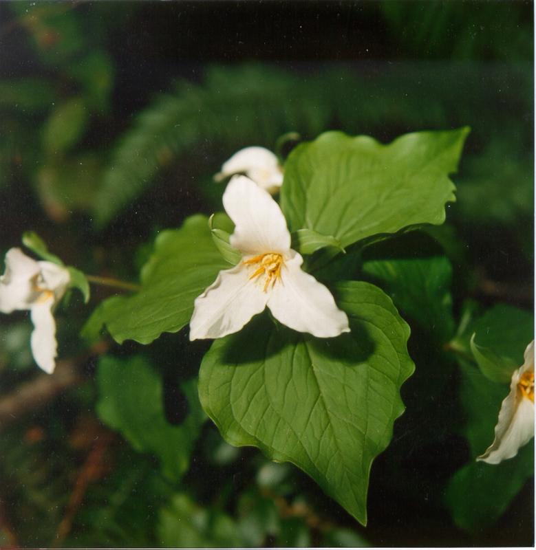Trillium Ovatum Plants Trillium Ovatum cv Quot